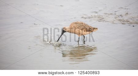 Long-billed Dowitcher (Limnodromus scolopaceus) foraging in wetlands.