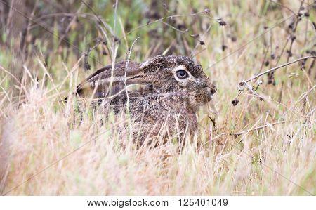 black-tailed jackrabbit (Lepus californicus) - American desert hare, hiding