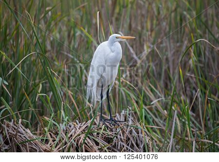 Great Egret - Ardea alba perched in wetlands