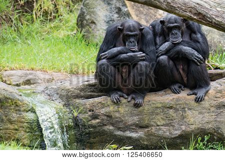 Two chimpanzee apes sitting together with arms crossed on a rock next to a small waterfall.  They appear to be resting.