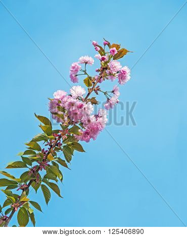 Branch of pink cherry blossoms against the blue sky