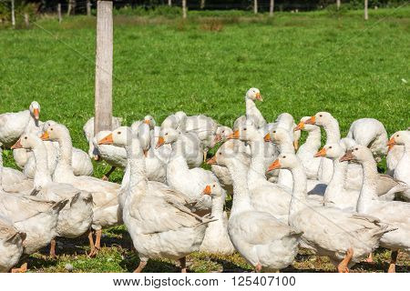 Geese Gaggle Grazing On Green Grass