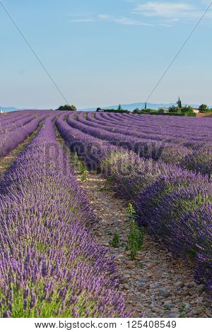 Blooming Lavender field with summer blue sky, France
