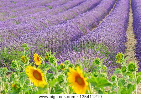 Sunflowers and rows of Lavender summer field close up, France