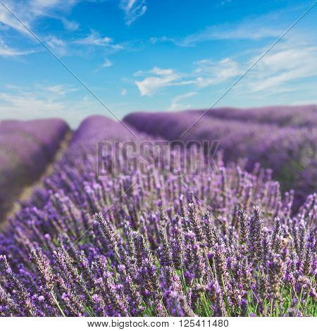 Lavender flowers blooming flowers with summer blue sky, Provence, France