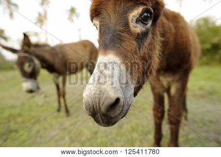 A Baby donkey is looking funny cute and curious with his buddy standing in the background.