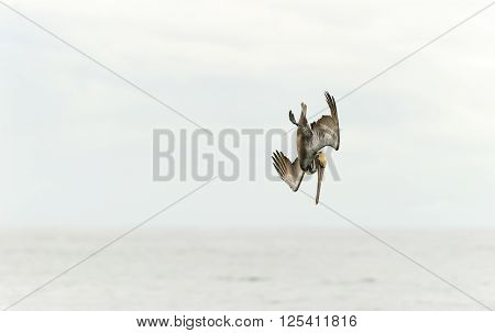 Pelican diving is a pelican captured at high speed in a full dive hunting for its food with the ocean horizon in the background.
