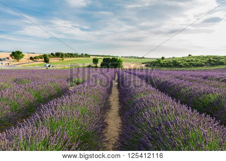 Summer Landscape with rows of Lavender flowers, Provence, France