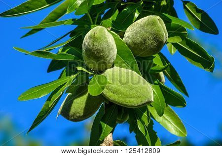 Closeup of almond tree branch with green nuts against a blue sky.