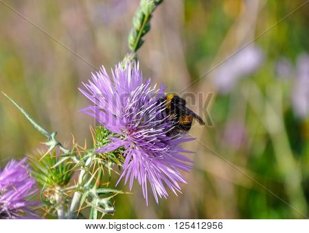 Thistle (carduus) And Bumblebee (bombus).