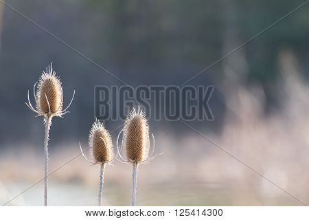 Three individual thistle heads shown against spring blurred background