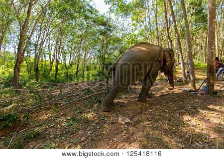Elephant pulling a tree with chains, helping the workers to harvesting the rubber tree forest in Thailand