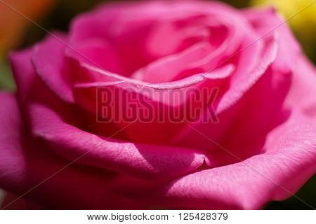 petals of a blooming rose in a garden