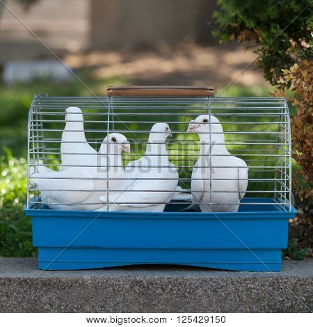 Beautiful White doves in a small cage