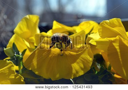 yellow pansy flower with bumblebee in spring