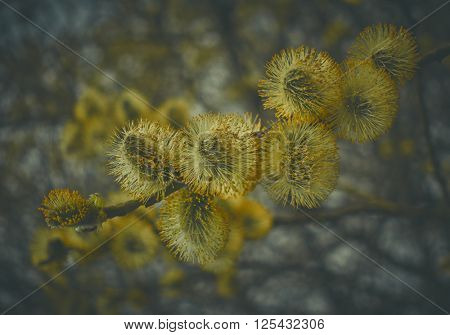 Pussy willow flowers on a tree at the spring