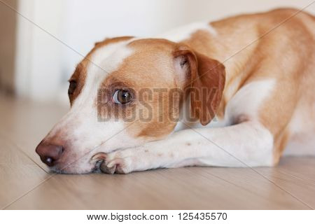Lazy dog Jack Russel lying on the floor