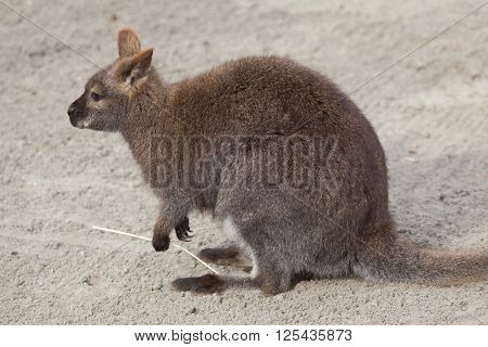 Red-necked wallaby (Macropus rufogriseus), also known as the Bennett's wallaby. Wild life animal.