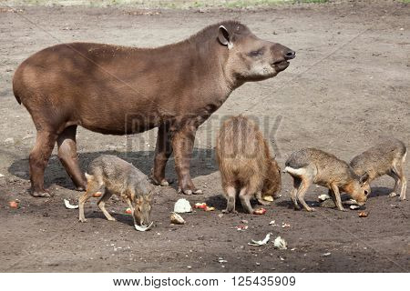 South American tapir (Tapirus terrestris), also known as the Brazilian tapir, with Capybara (Hydrochoerus hydrochaeris) and Patagonian mara (Dolichotis patagonum). Wild life animal.