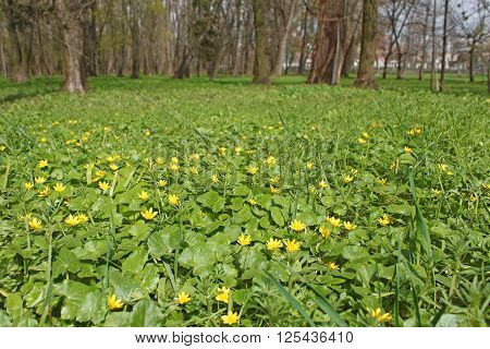 Flowers Of Lesser Celandine In Park