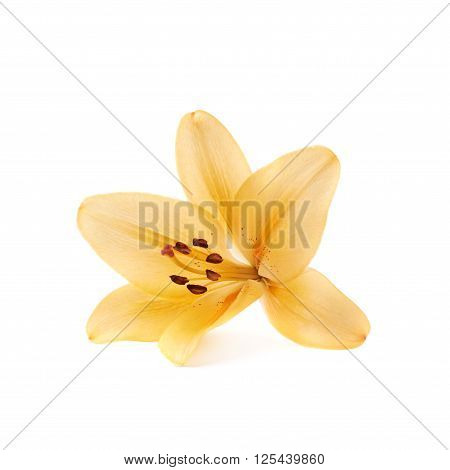 Yellow royal trinity lily lilium isolated over the white background