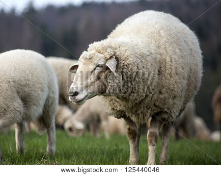 group of sheep outside on meadow grazing