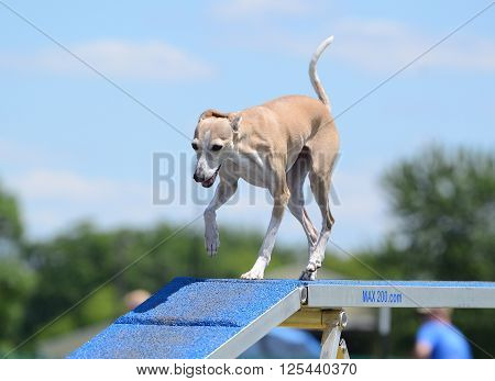 Italian Greyhound Running on a Dog Walk at an Agility Trial