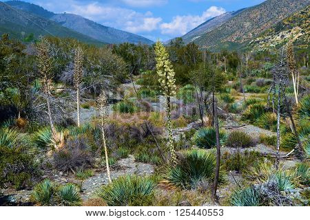 Yucca Plant flower blossoms during spring taken in the arid foothills of the San Gabriel Mountains, CA