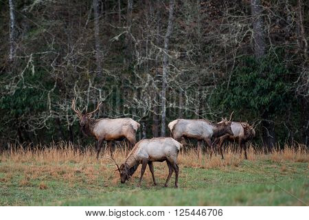 Bull Elk in Early spring graze in Cataloochee valley ** Note: Soft Focus at 100%, best at smaller sizes