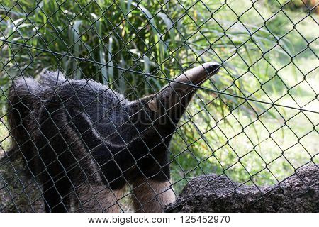 Anteater looks between fence gaps in zoo