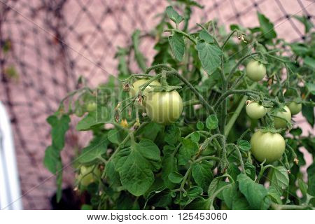 yellow young tomato flowers on the stem