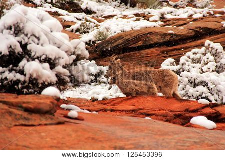 Bighorn Sheep in Zion National Park, Utah ** Note: Visible grain at 100%, best at smaller sizes