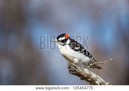 Downy and Hairy woodpeckers are widely distributed across North America. Both commonly visit feeder areas where they feed on suet and sometimes seeds. These woodpeckers are the only common woodpeckers