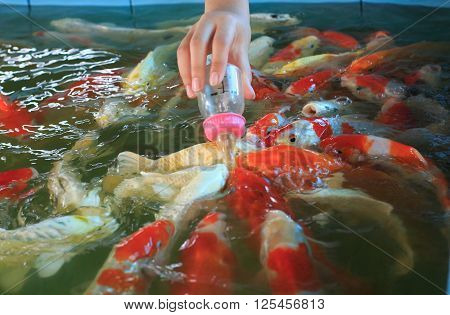 Feeding Fancy Carp Fish