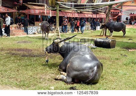 Black Buffalo At Funeral Ceremony. Tana Toraja