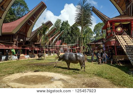 Funeral Ceremony. Tana Toraja