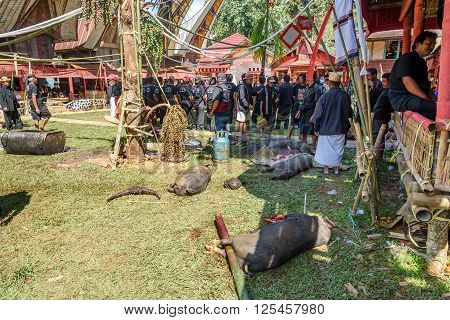Pigs Slaughtered In A Funeral Ceremony In Tana Toraja