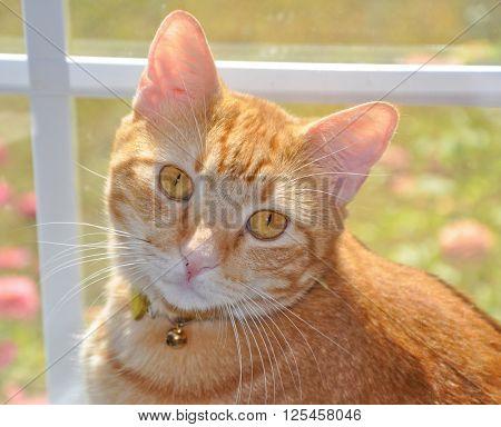 Handsome orange tabby cat with striking eyes, sitting at a sunny window, looking up to the viewer