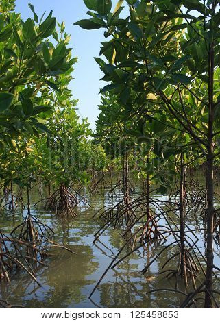 a growth of mangrove tree forest in river
