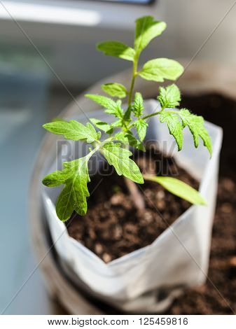 Seedling Of Tomato Plant In Plastic Tube On Sill