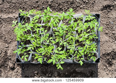 Top View Of Box With Young Shoots Of Tomato Plant