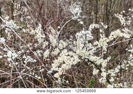 Blossoms Of Thorny Shrub Hawthorn In Spring