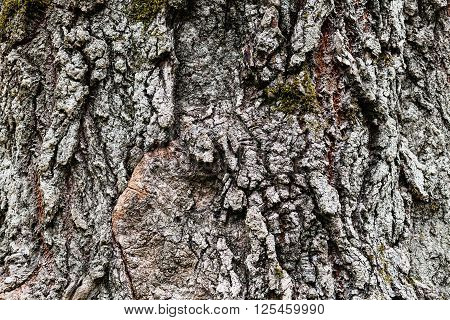natural background - cracked bark of old poplar tree
