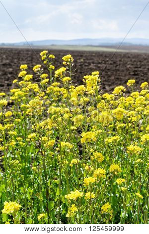 Yellow Blooms Of Canola And Arable Field