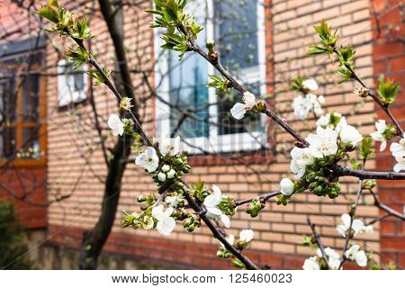 Branches Of Blossoming Black Cherry On Backyard