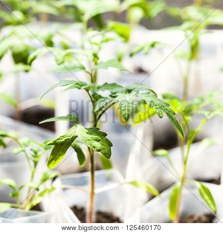 Green Shoots Of Tomato Plant In Plastic Tubes