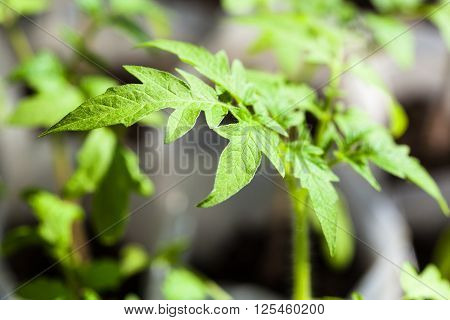 Green Seedlings Of Tomato Plant Close Up