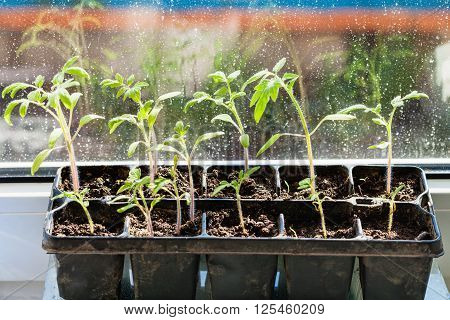 Container With Tomato Plant Seedlings On Sill