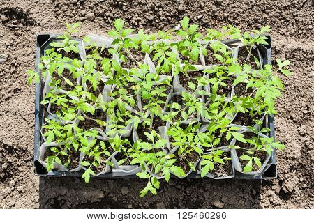 Top View Of Box With Young Sprouts Of Tomato Plant