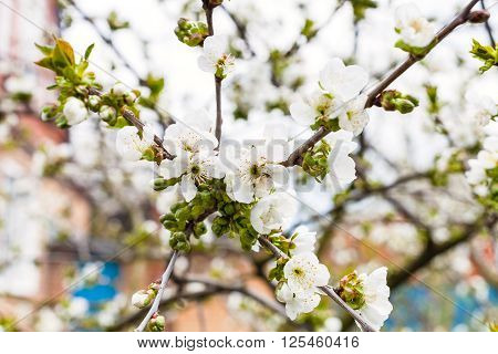Twigs With White Flowers Of Black Cherry